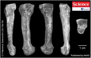 AL-333-160 left fourth metatarsal A afarensis
