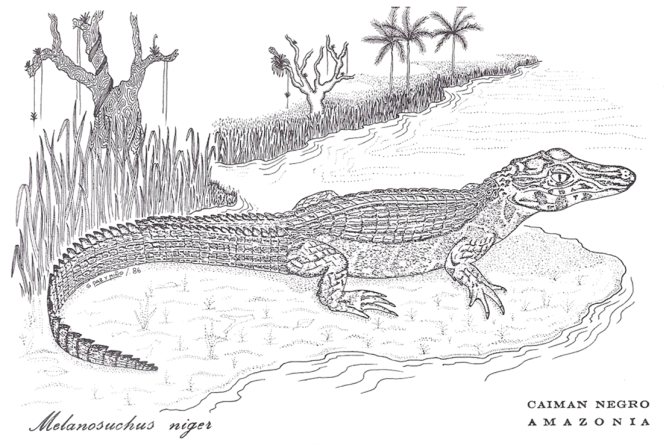Black-spectacled caiman - sketch G-Paz-y-Mino-C 1986