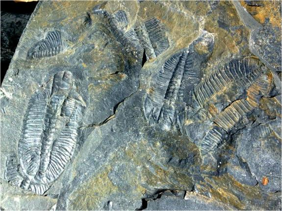 Trilobites Evolution Literacy G Paz-y-Mino-C photo