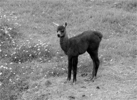 A - Baby Llama - Photo G-Paz-y-Mino-C 2015