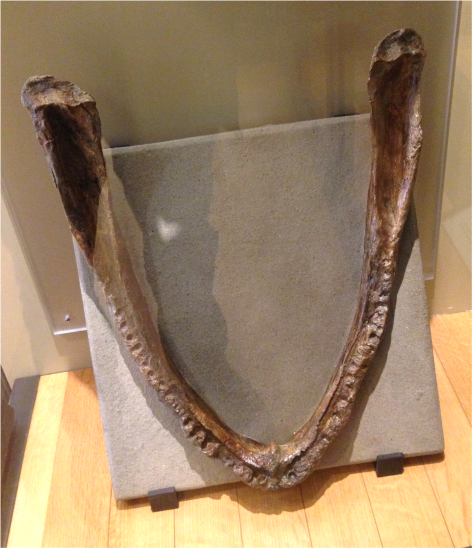 B Eryops megacephalus - Photo G-Paz-y-Mino-C Beneski Museum 2015