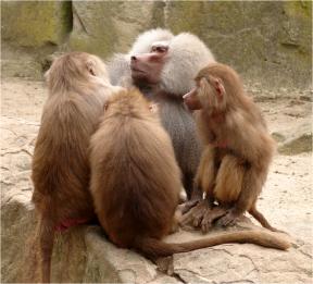 Baboon Quartet Berlin Zoo 2011