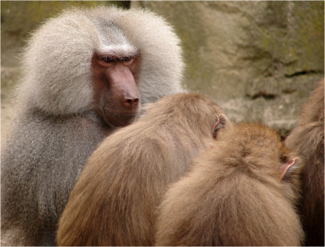 Baboons Berlin Zoo 2011