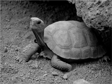 Baby Galapagos Tortoise - Photo G-Paz-y-Mino-C 2007