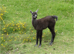 Baby Llama Cochasqui 2015