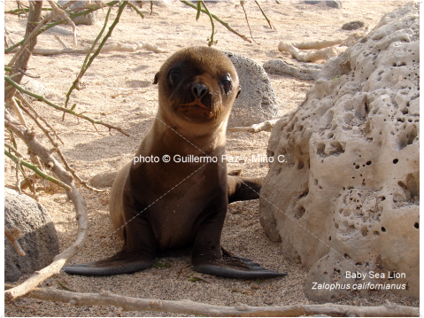 Baby Sea Lion Galapagos G Paz-y-Mino-C