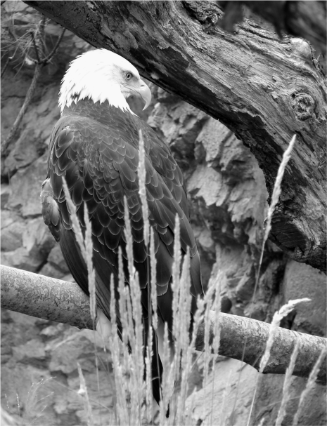Bald Eagle B&W - Photo G-Paz-y-Mino-C 2007