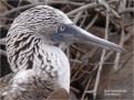 Blue Footed Booby Galapagos G Paz-y-Mino-C