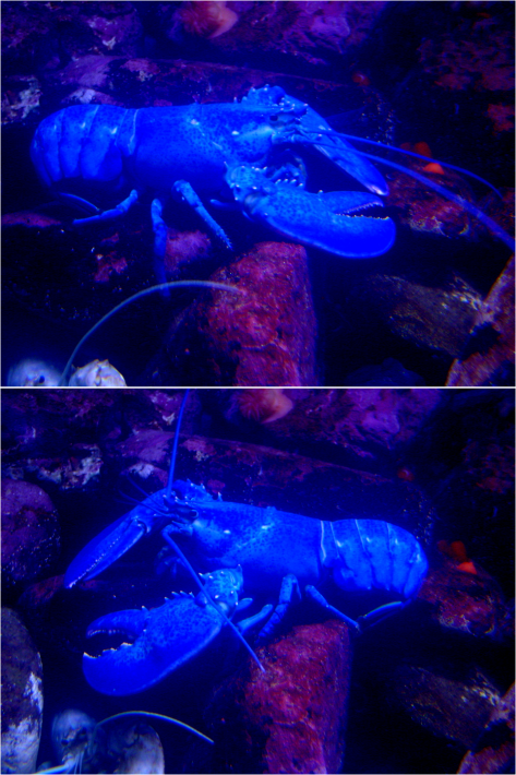 Blue Lobster NEA