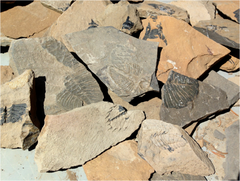 Burgess Shale Fossils by the thousands 2013