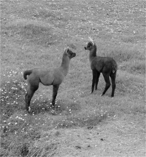 C - Baby Llamas - Photo G-Paz-y-Mino-C 2015