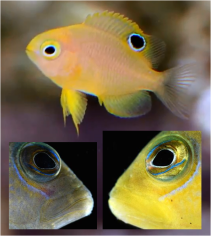 Colour-morphing reef fish Curr Biol 2015