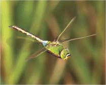 Dragonfly PNAS 03 17 2015