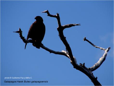 Galapagos Hawk G Paz-y-Mino-C