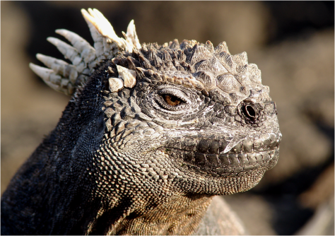 Galapagos marine iguana head G-Paz-y-Mino-C photo