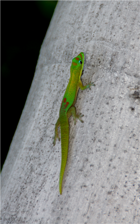 Gold Dust Day Gecko Big Island Photo G-Paz-y-Mino-C Hawaii