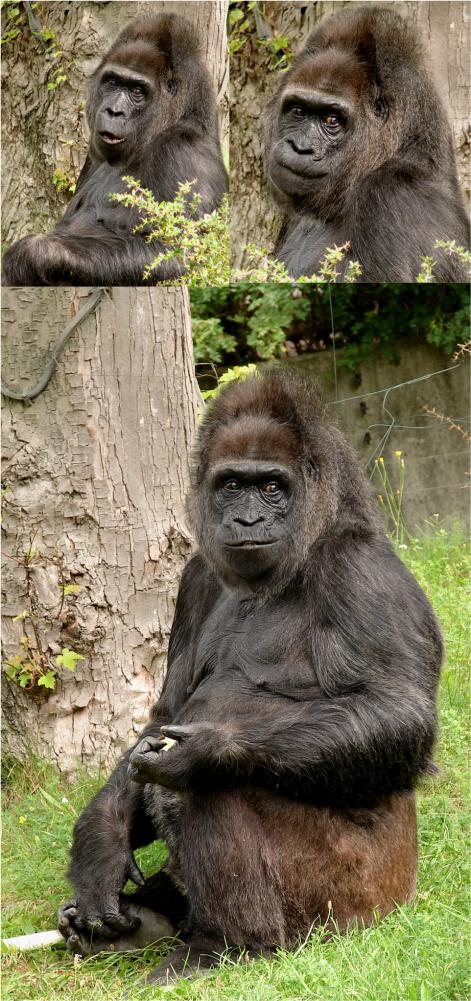 Gorilla Berlin Zoo 2011