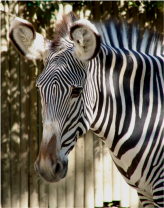 Grevy s Zebra Lisbon Zoo close up