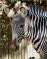 Grevy s Zebra Lisbon Zoo close up