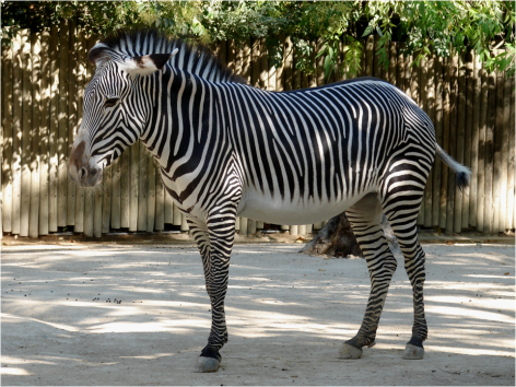 Grevy s Zebra Zoom Out Lisbon Zoo