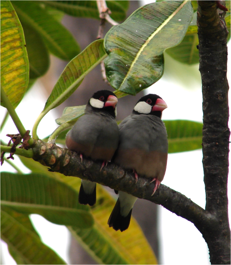 Java Sparrows Big Island 2012