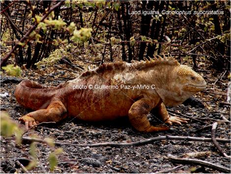 Land Iguana Galapagos G Paz-y-Mino-C
