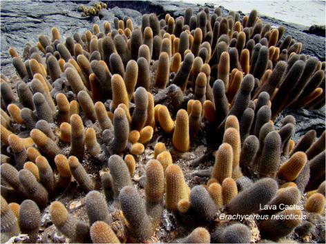 Lava Cactus Galapagos G Paz-y-Mino-C