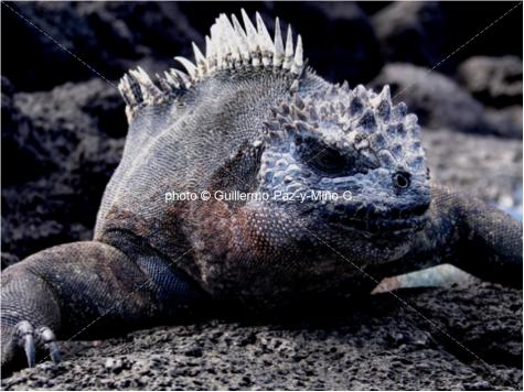 Marine Iguana Galapagos G Paz-y-Mino-C
