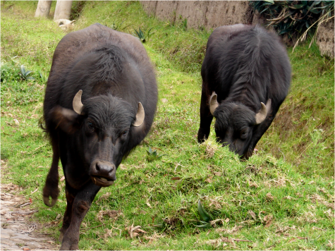 Murrah Buffalo Ecuadorian Andes Photo G-Paz-y-Mino-C