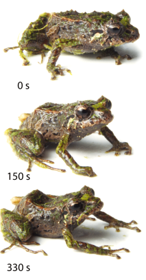 Mutable Rainfrog Ecuador Zoo J Linnean Society