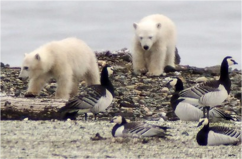 Nest Predation by Polar Bears