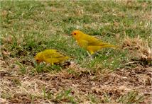 Saffron Finches Big Island 2012