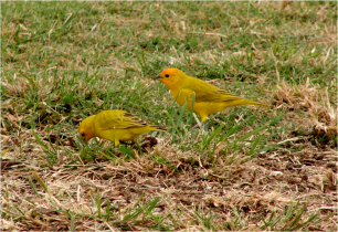 Saffron Finches Big Island 2012