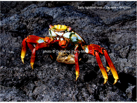 Sally Lightfoot Crab Galapagos G Paz-y-Mino-C