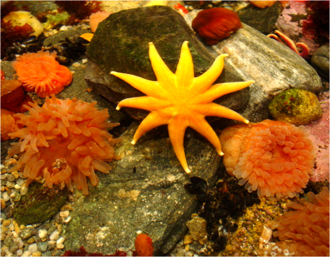 Sea star and anemones Mystic 2011