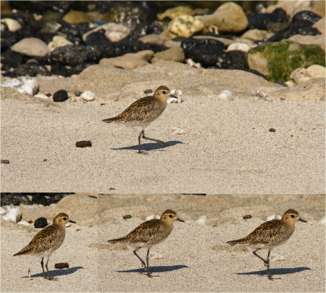 Sequence Pacific Golden-Plover Big Island Photo G-Paz-y-Mino-C