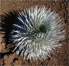 Silversword Maui Hawaii