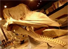 Sperm Whale Jaw NBWM 2010