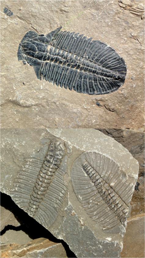 Trilobites Yoho Nat Park Canada 2013