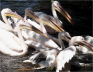 White Pelicans Amsterdam Zoo