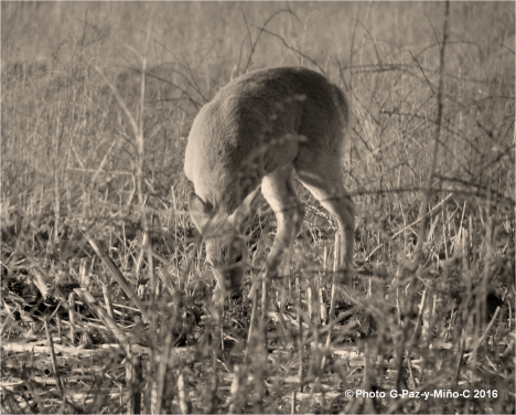 White-tailed Deer - Sachuest Point Nat Wildlife Refuge Photo G-Paz-y-Mino-C 2016