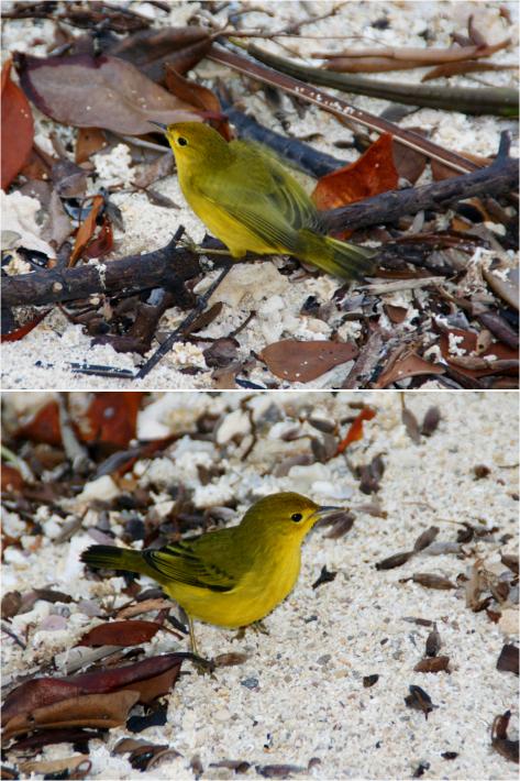Yellow Warbler Galapagos 2013