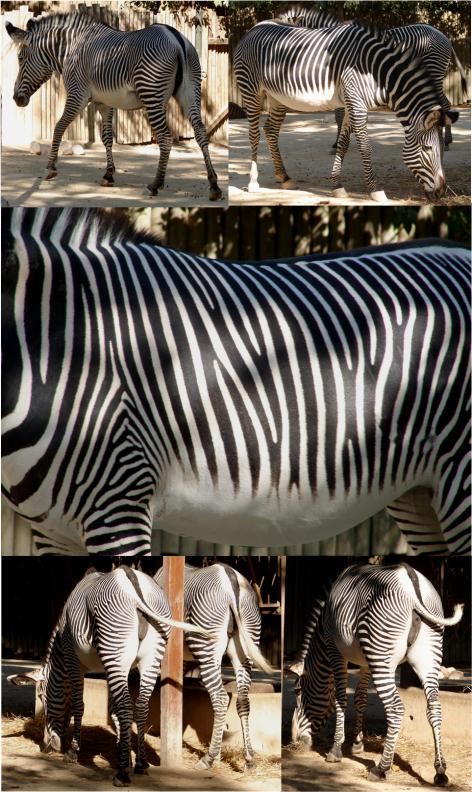 Zebras Lisbon Zoo G Paz-y-Mino-C