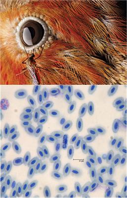 Avian Malaria