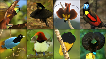 Birds of Paradise Nat Geo