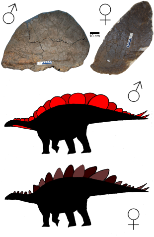 Male and Female Stegosaurus PLoS ONE