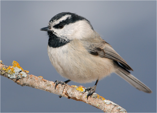 Mountain Chickadee Image by Tringa Photography
