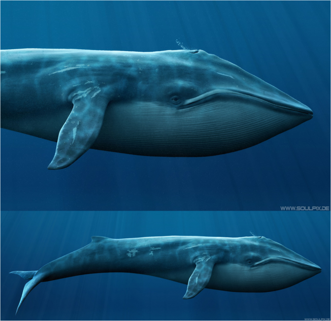 Blue Whale illustration by Soul Pix