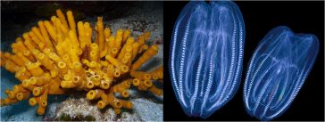 Calcareous Sponges - Leidys Comb Jellies Images