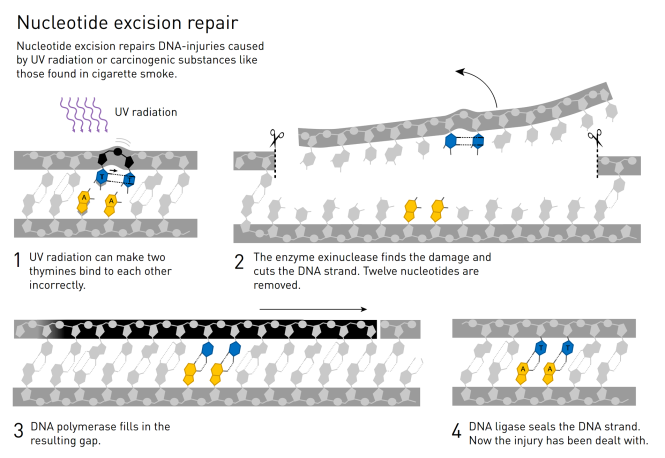 B - Nucleotide Excision Repair